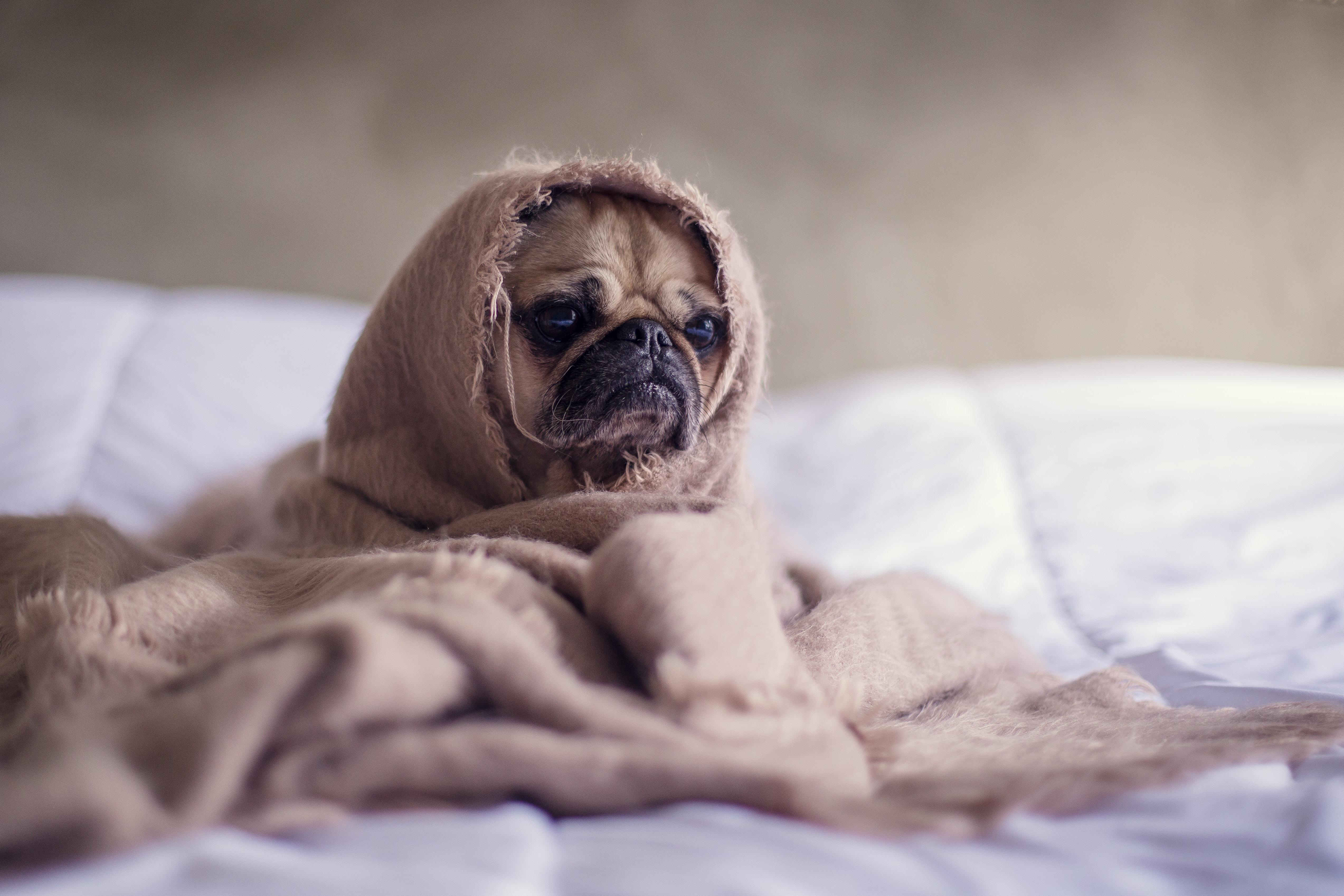 homesick-sad-pug